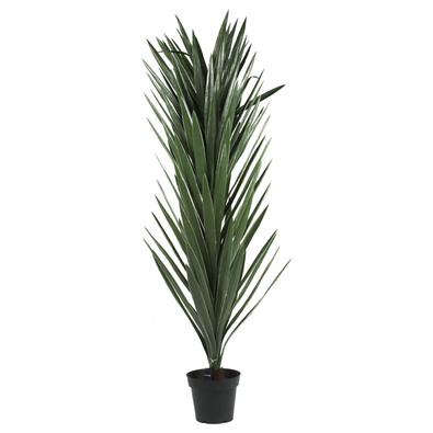 ROGUE Potted Yucca