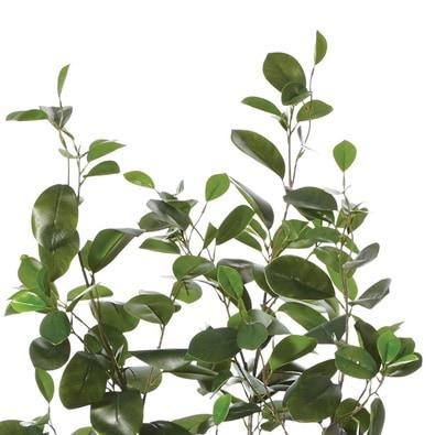 ROGUE Oriental Ficus Tree