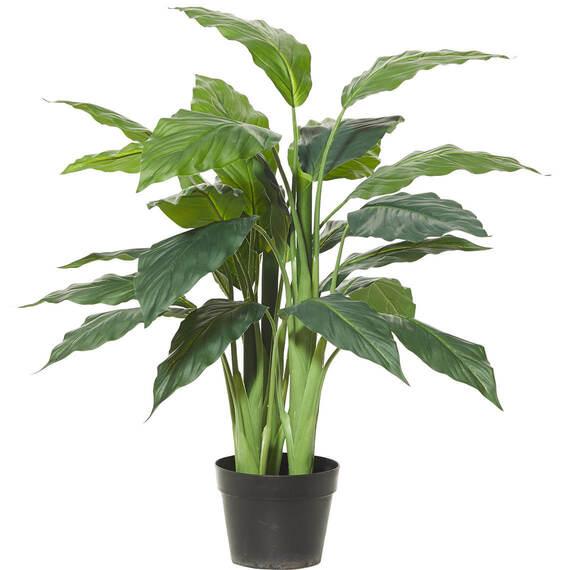 ROGUE Spathiphyllum Plant