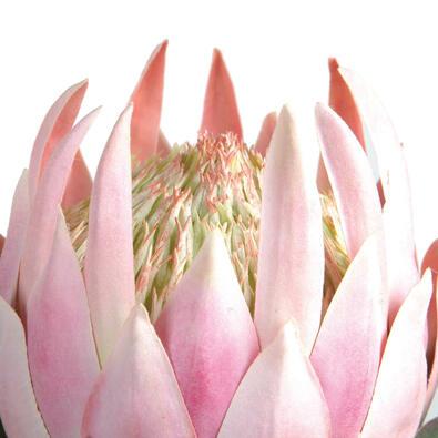 ROGUE Protea King Stem