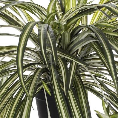 SPIDER PLANT Black Pot